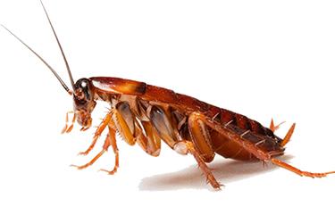 Pest-Control-Cockroaches
