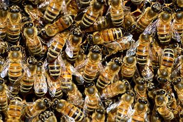 Pest-Control-Melbourne-Bees