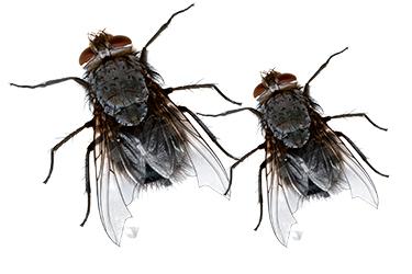 pest-exterminators-melbourne-flies