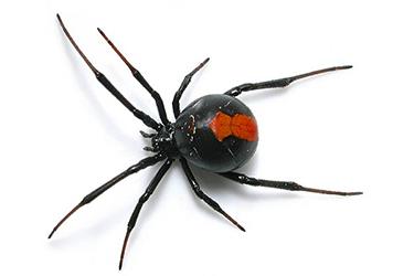 pest-exterminators-melbourne-spiders