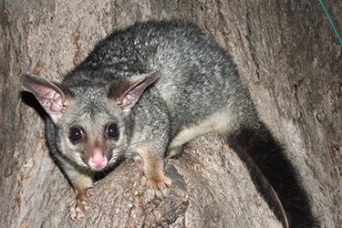 possum-removal-melbourne
