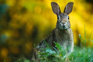 rabbit-control-victoria