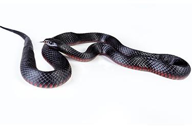 snake-catcher-melbourne