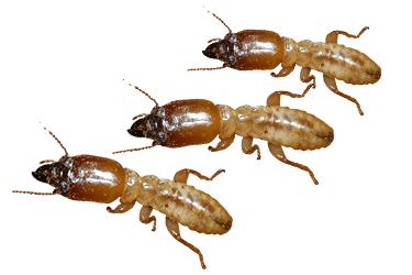 termite-control-melbourne