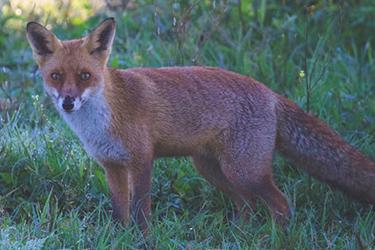 wildlife-control-melbourne-foxes