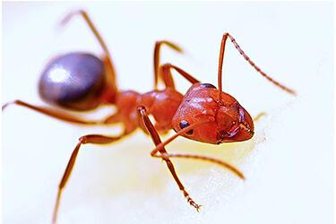 Pest-Control-Ants