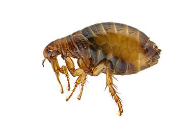pest-exterminators-melbourne-fleas
