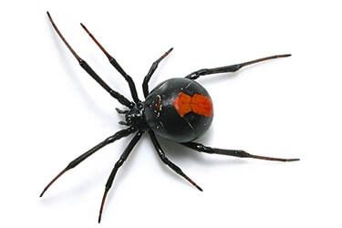 pest-exterminators-melbourne-spiders-