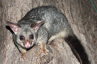 possum-removal-melbourne