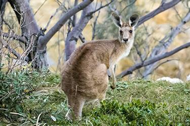 wildlife-control-melbourne-kangaroos