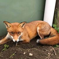 wildlife Fox Control services in Melbourne