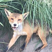 wildlife pestcontrol Fox Control in Melbourne
