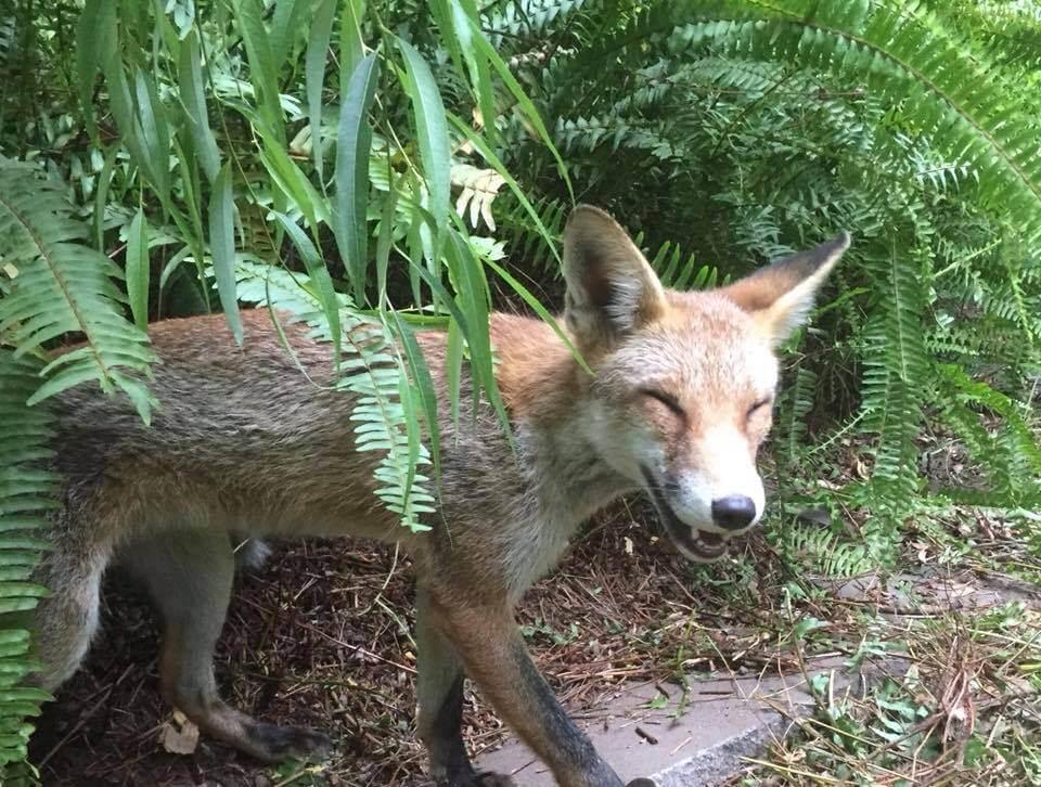 wildlife pestcontrol Fox Control servcies in Melbourne