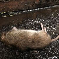 wildlife pestcontrol Rats & Mice Control in Melbourne